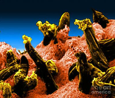 Plasmodium Gallinaceum, Sem Art Print by Science Source