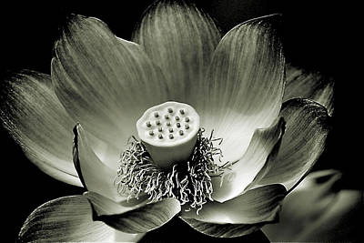 Platinum Lotus Art Print
