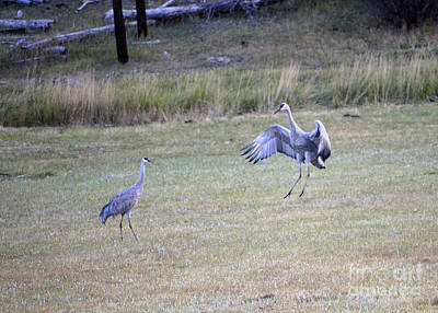 Photograph - Playful Cranes by Donna Greene