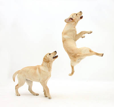 Playful Labrador Pups Print by Mark Taylor