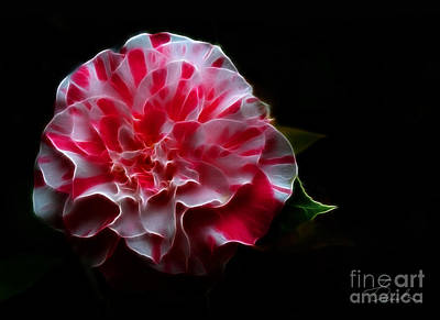 Photograph - Playful Peppermint Camellia by Danuta Bennett