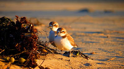 Photograph - Plover Boys by Catherine Natalia  Roche