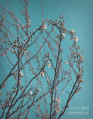 Photograph - Plum Blossoms by Cindy Garber Iverson