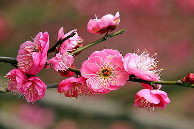 Red Photograph - Plum Flower by Lanjee Chee