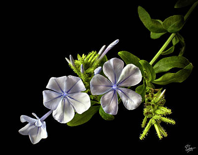Photograph - Plumbago by Endre Balogh