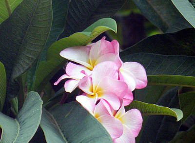 Digital Art - Plumeria From Hawaii by Vicky Tarcau