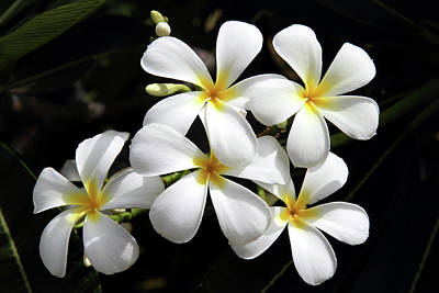 Hawaiian Flora Photograph - Plumeria Hawaii by Pierre Leclerc Photography