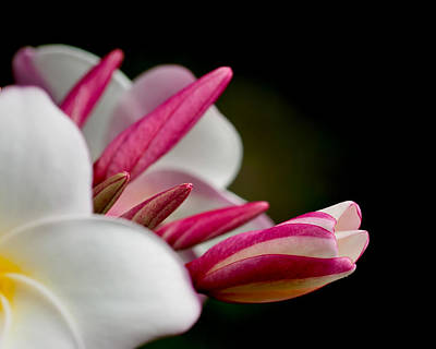 Photograph - Plumeria In The Wind by Dan McManus