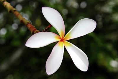 Photograph - Plumeria Maui by Pierre Leclerc Photography