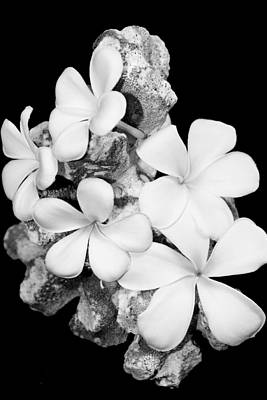 Photograph - Plumeria On Coral  by Elizabeth  Doran