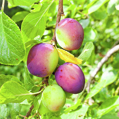 Photograph - Plums by Tom Gowanlock