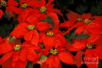 Photograph - Poinsetias Flowers - 36-4-s by Renata Ratajczyk