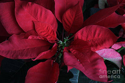Photograph - Poinsettia Euphorbia Pulcherrima by Photo Researchers