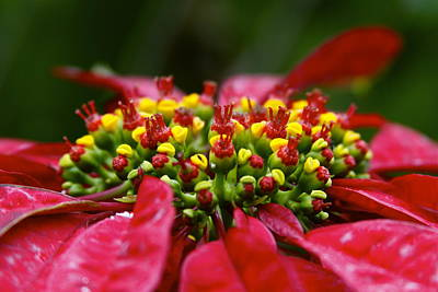 Photograph - Poinsettia by Karon Melillo DeVega