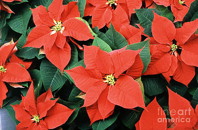 Photograph - Poinsettia Varieties by Science Source