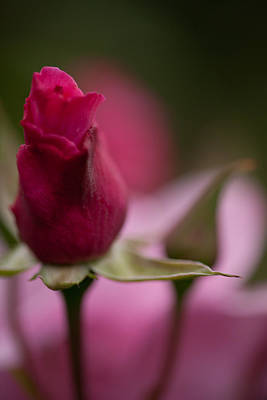 Roses Royalty-Free and Rights-Managed Images - Pointedly by Mike Reid
