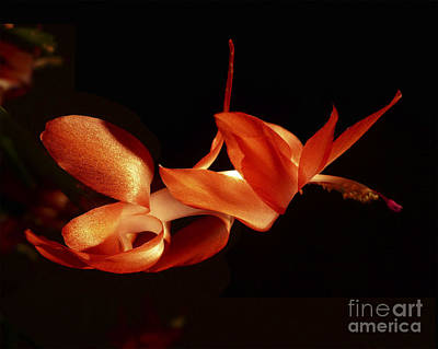 Schlumbergera Bridgesii Photograph - Poised by Lamia Holden