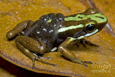 Poison Frog With Tadpoles Print by Dante Fenolio