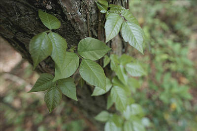 Poison Ivy Photograph - Poison Ivy Climbs A Pine Tree by Stephen Alvarez