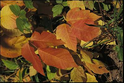 Poison Ivy Photograph - Poison Ivy Leaves Take On Fall Color by Tim Laman