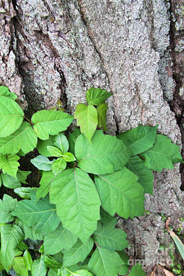 Poison Ivy Photograph - Poison Ivy by Photo Researchers, Inc.