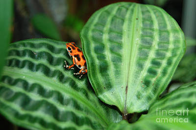 Photograph - Poison Red Dart Frog  by Eva Kaufman