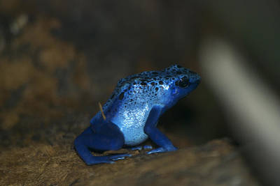 Salamanders Digital Art - Poisonous Blue Frog 03 by Thomas Woolworth