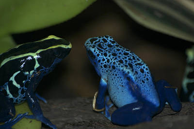 Salamanders Digital Art - Poisonous Blue Frog 04 by Thomas Woolworth