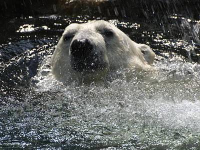 Photograph - Polar Bear 1 by Jeffrey Peterson