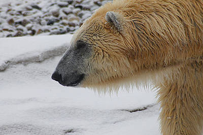 Photograph - Polar Bear 2 by Scott Hovind