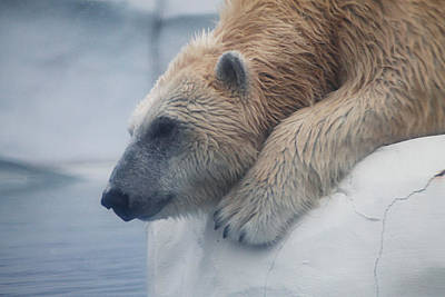 Photograph - Polar Bear 6 by Scott Hovind
