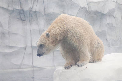 Photograph - Polar Bear 8 by Scott Hovind