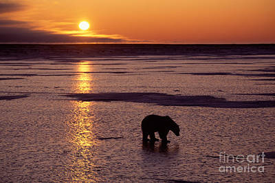 Photograph - Polar Bear At Sunset by Francois Gohier and Photo Researchers