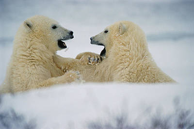 Polar Bear Cubs Sparring, Churchill Art Print by Mike Grandmailson