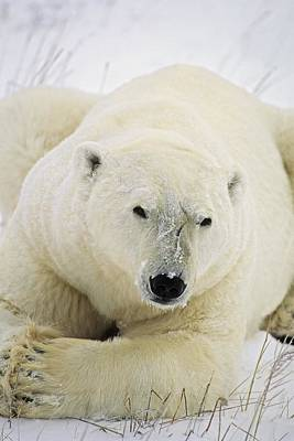 Animal Paintings David Stribbling Royalty Free Images - Polar Bear Royalty-Free Image by John Pitcher
