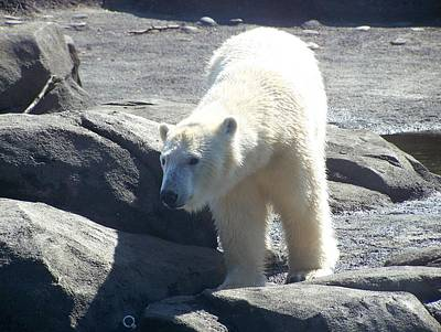 Polar Bear Looks Art Print by Geri Chamberlin