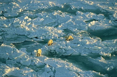 Polar Bear Mother And Cubs Walking Art Print by Norbert Rosing
