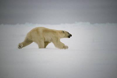 Baffin Island Photograph - Polar Bear Runs Across Frozen Baffin by Gordon Wiltsie