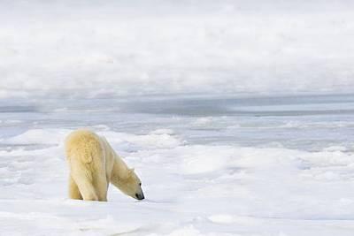 People On Ice Photograph - Polar Bear Ursus Maritimus Being by Richard Wear