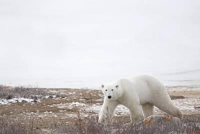 People On Ice Photograph - Polar Bear Ursus Maritimus Staring by Richard Wear