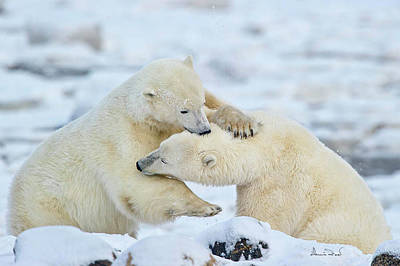 Nanook Photograph - Polar Bear Wrestle by Dennis Fast
