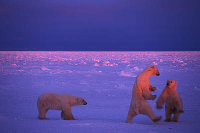 Wild At Heart Photograph - Polar Bears Frolic In The Snow by Nick Norman