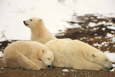 Polar Bears, Mother And Two Cubs Art Print by Robert Postma
