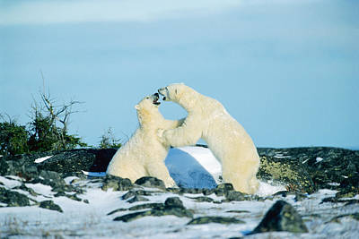 Polar Bears Sparring, Churchill Art Print by Mike Grandmailson
