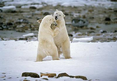 Aggressiveness Photograph - Polarbears, Churchill, Manitoba by Mike Grandmailson