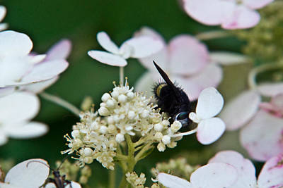 Fornication Photograph - Pollen And Nectar Feeding Fly 8 by Douglas Barnett