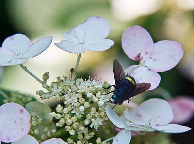 Pollen And Nectar Feeding Fly 9 Art Print by Douglas Barnett