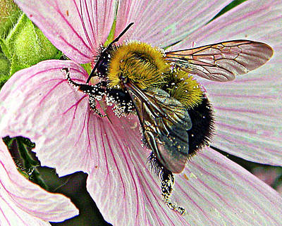 Photograph - Pollen Beaded Bumble Bee 1 by Mark J Seefeldt
