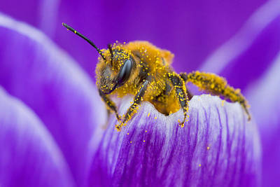 Pollen-covered Bee On Crocus Art Print