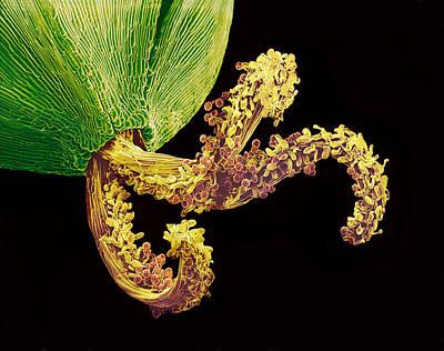 Pollinated Flower Pistil, Sem Art Print by Susumu Nishinaga